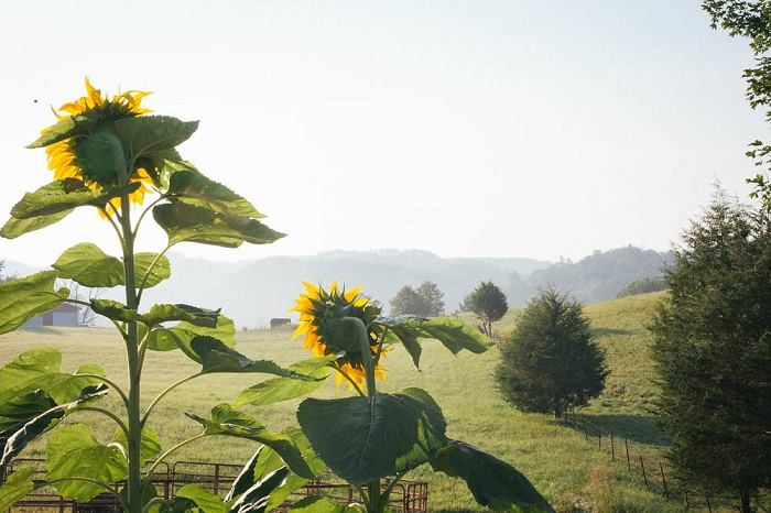 Sunflower skyline