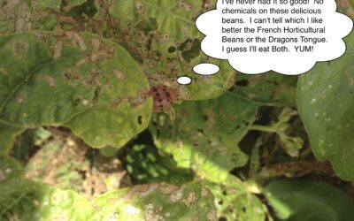 Updates from Open Spigot Farm: The Attack of the Mexican Bean Beetle